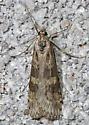 micro-moth - Nomophila nearctica