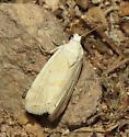 White desert moth - Eublemma minima