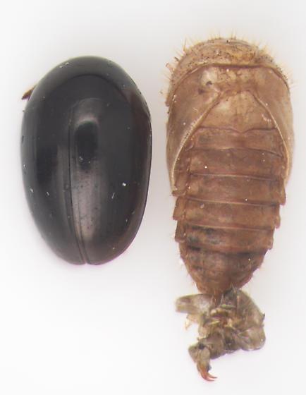 Phalacridae, dorsal - Acylomus pugetanus