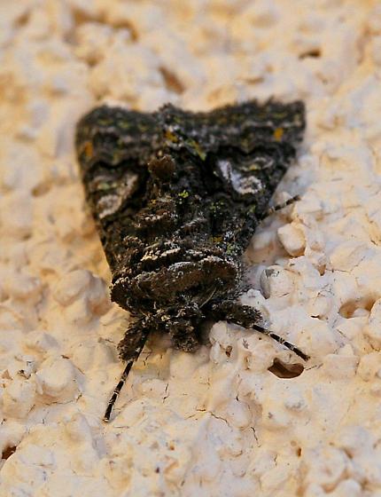 Moth - Behrensia conchiformis
