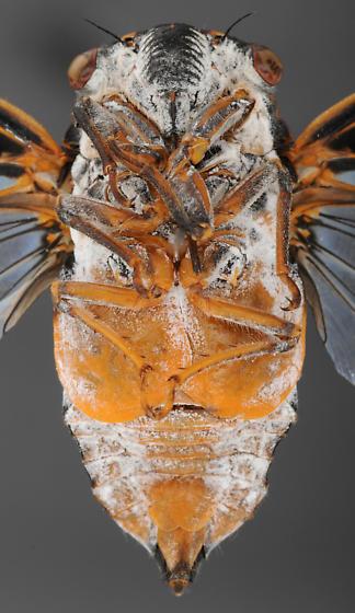 Cicada, male ventral - Hadoa chiricahua - male