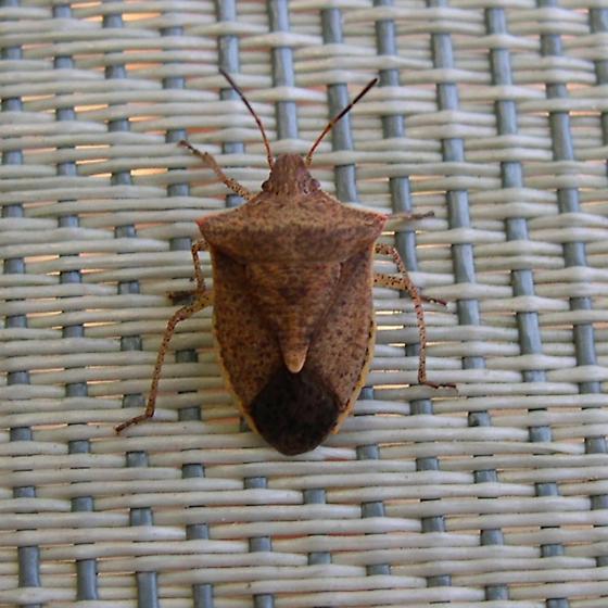 Bug Two - Euschistus servus