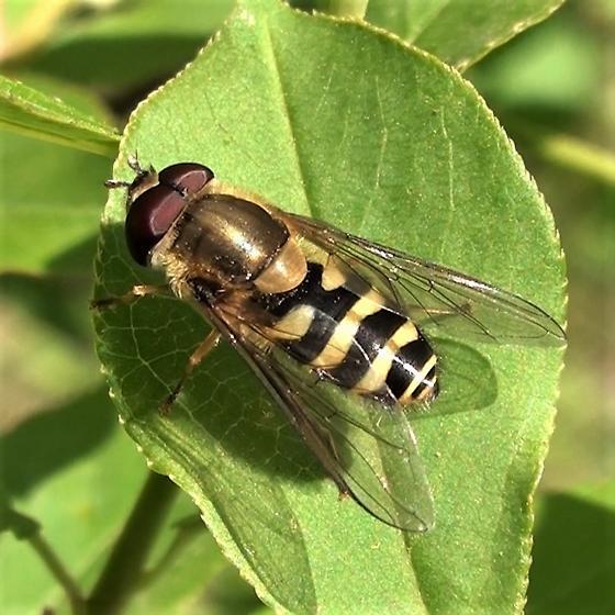 Syrphidae: Syrphus ribesii? - Syrphus torvus