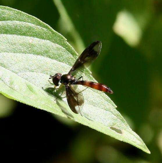 Flower Fly (Ocyptamus fuscipennis) - Ocyptamus fuscipennis