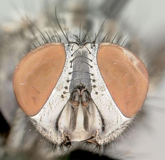 Arachnidomyia