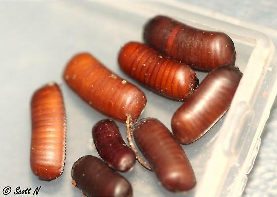 farmapest böcek yumurtaları ile ilgili görsel sonucu