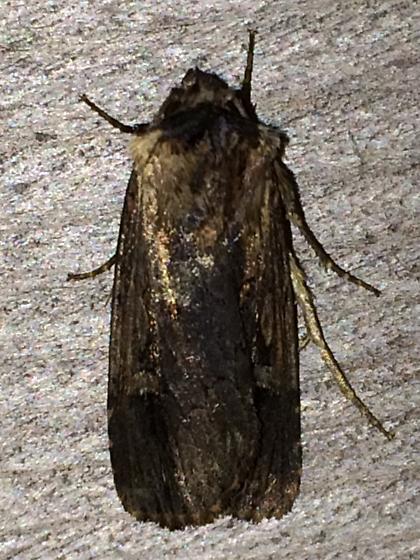 Noctuid - Dichagyris acclivis