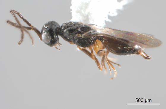 Another female megaspilid? - female
