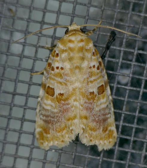 Texas SE Gulf Coast - Diastema tigris