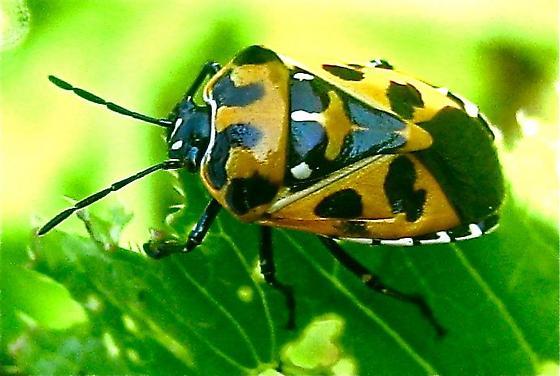 Harlequin Bug (Murgantia histrionica) - Murgantia histrionica