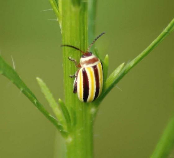 Striped Beetle - Kuschelina floridana