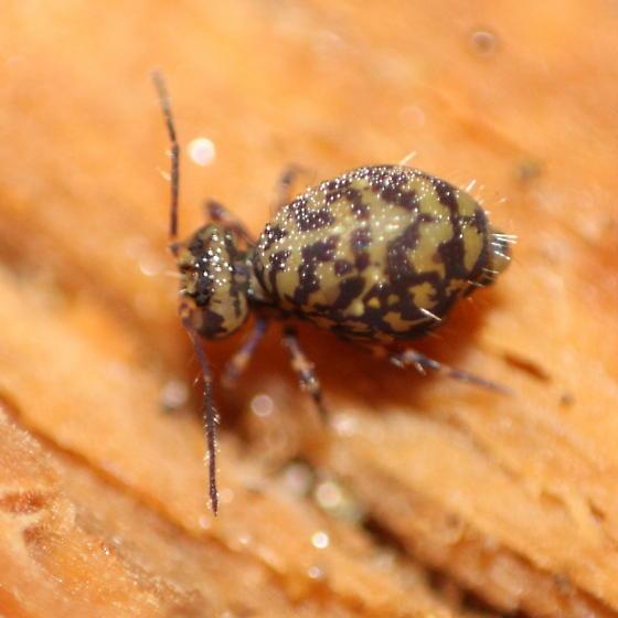 Ptenothrix? - Ptenothrix marmorata