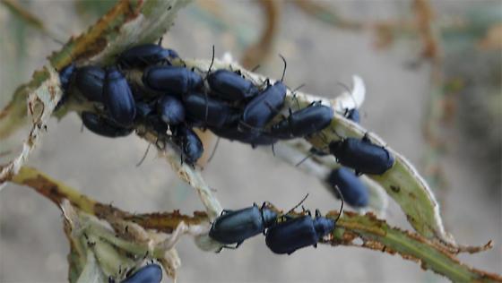Willow Beetle, lower Mackenzie River (Itai Katz,Tsiigehtchic, NWT) - Altica bimarginata