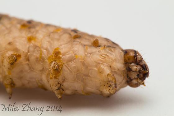 Copidosoma bakeri filled Red-backed Cutworm (Euxoa ochrogaster) - Copidosoma