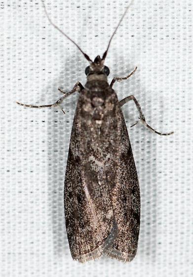 Oreana unicolorella ?