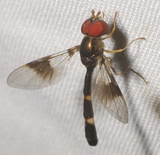 Distinctive Syrphid - Hypocritanus fascipennis