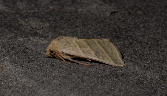 Tobacco Budworm of Three-lined Flower? - Chloridea virescens