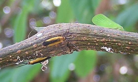 black-striped orange plant bugs - Lopidea