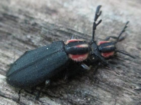 Beetle - Chariessa pilosa - male - female