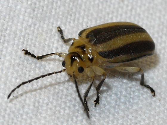 beetle - Derospidea brevicollis