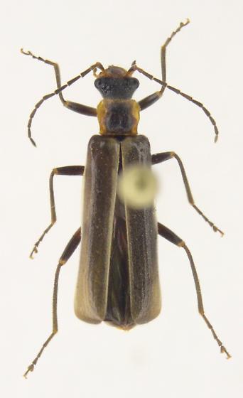 Dichelotarsus limbellus - Dichelotarsus