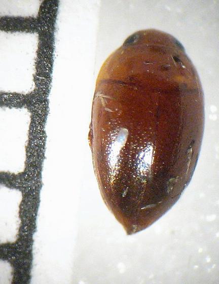 Noteridae - Suphisellus