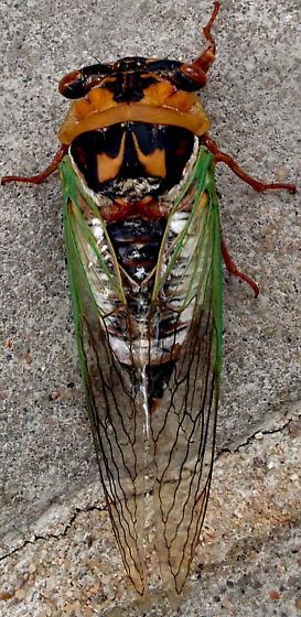 Arizona cicada - Megatibicen cultriformis