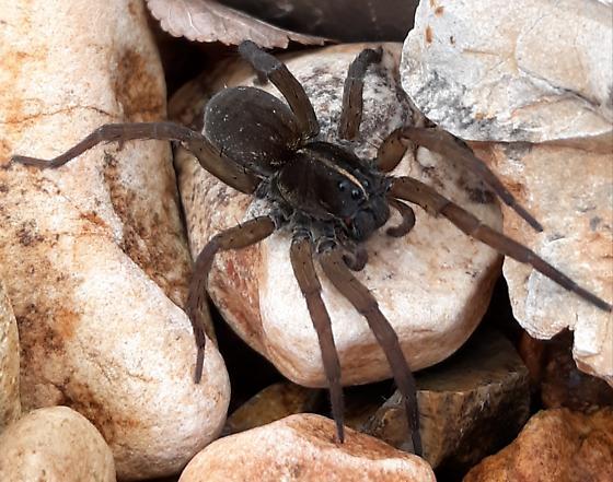 Araneae - Tigrosa