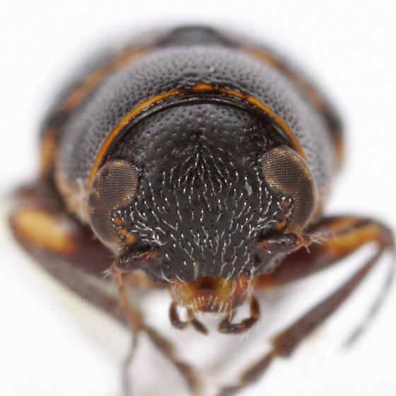 Pachybrachis nigricornis (Say) - Pachybrachis nigricornis