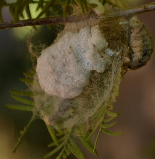 Wingless moth - Orgyia leucostigma - female