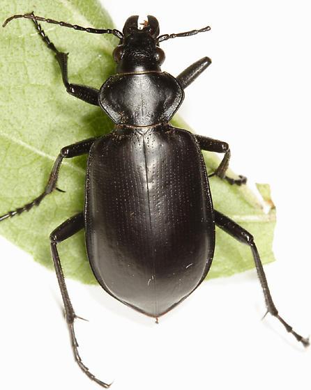 Calosoma sp.? - Calosoma peregrinator