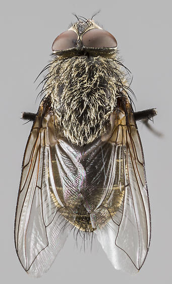 Fly - Pollenia - male