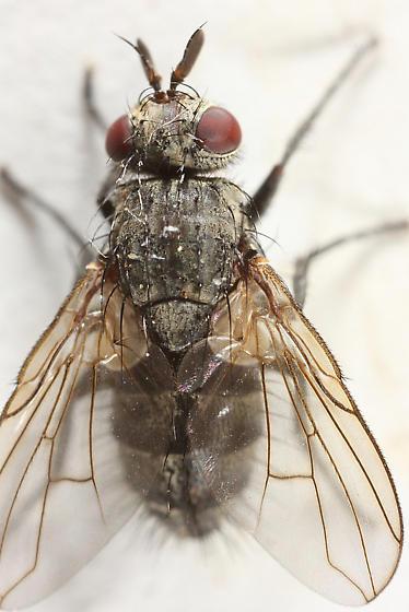 Fly flew inside - Triarthria setipennis