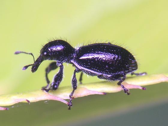 Unknown Weevil/Snout Beetle - Myrmex myrmex