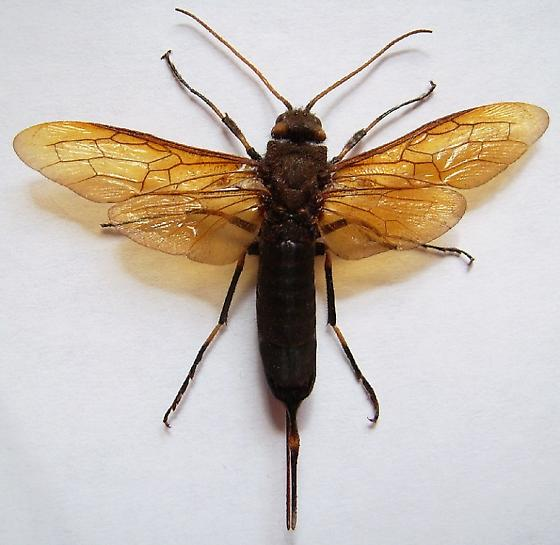 Horntail Wasp - Urocerus californicus - female