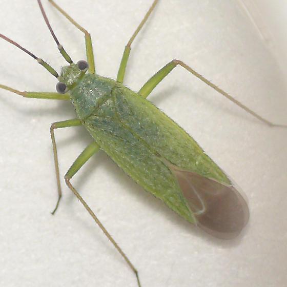 Orthotyline Mirid from Yellowstone 10.07.07 - Ilnacorella sulcata - male
