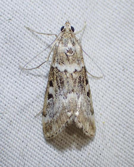 Moth - Loxostege kearfottalis