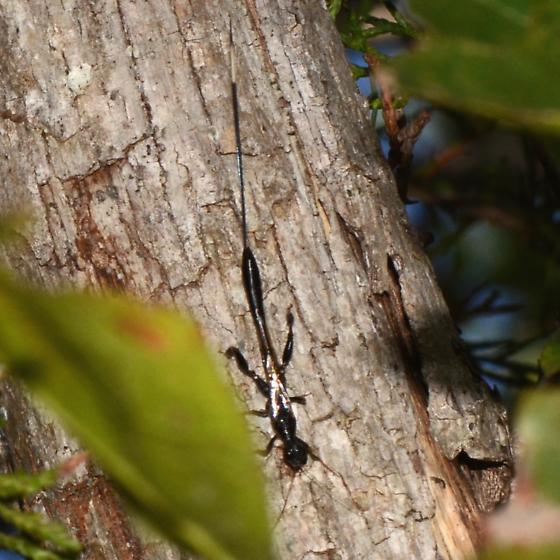 NL. No. 8  Ichneumon sp.? - Megischus bicolor