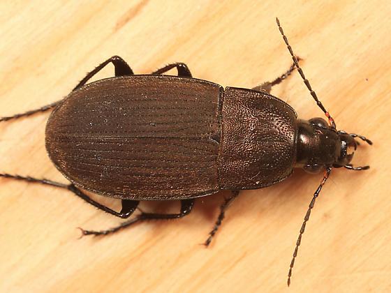 Vivid Metallic Ground Beetle - Chlaenius tomentosus