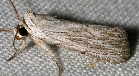 ID Request - Catabena lineolata