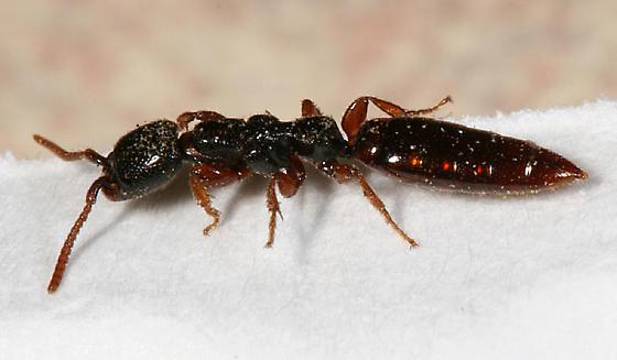 wingless wasp - Pristepyris armiferus - female