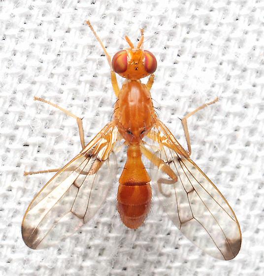 Fly - Odontomera ferruginea