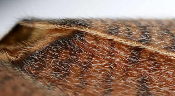 Large Caddisfly--detail of wing scales - Ptilostomis - female