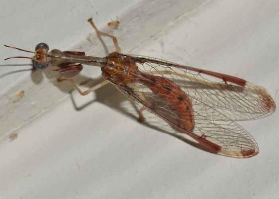 Mantisfly - Dicromantispa interrupta