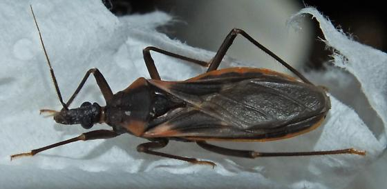 Feeding T. rubida - Triatoma rubida - male