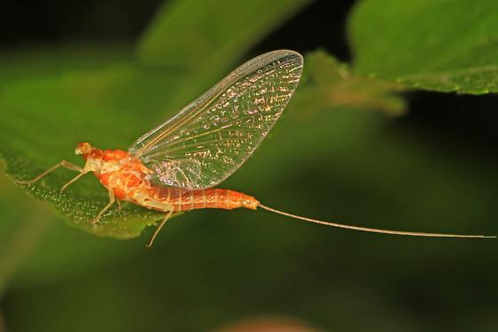orange Mayfly - Epeorus vitreus