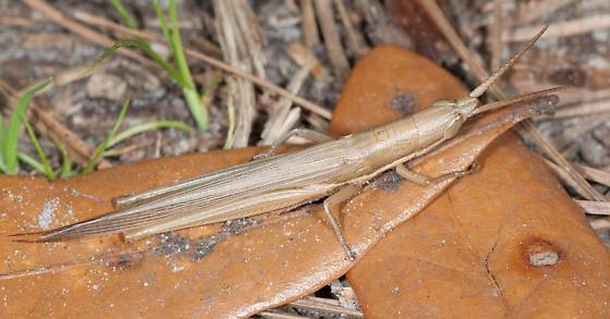 Slant-faced grasshopper - Leptysma marginicollis