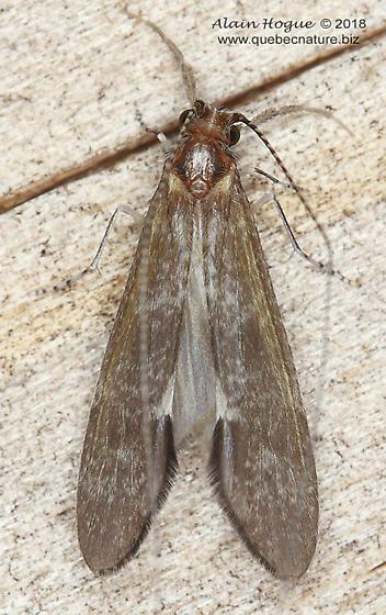 Leptoceridae ? - Ceraclea