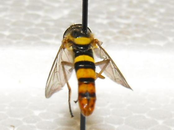 Syrphid Fly - Sphaerophoria