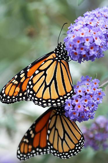 Monarch butterfly (Danaus plexippus) - Danaus plexippus